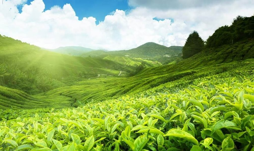 Tea plantation of Cameron Highlands
